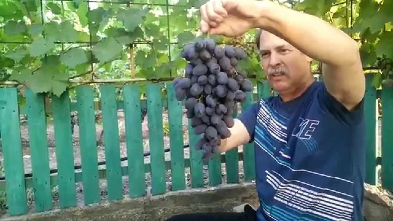 Виноград Гала. Предпродажная подготовка 2015