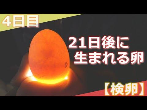 , title : '【21日後に生まれる🐣】ニワトリの卵を孵化させる④【検卵の仕方】