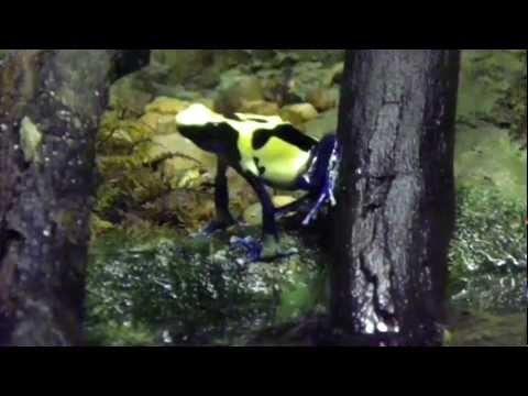 Golden Poison Dart Frogs At The Brevard Zoo.