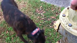Off Leash Obedience Around Town | Pitbull Dog Trainer