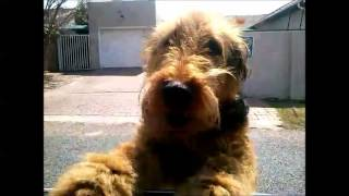 An Airedale Terrier Welcome