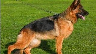 Немецкая овчарка. Породы собак