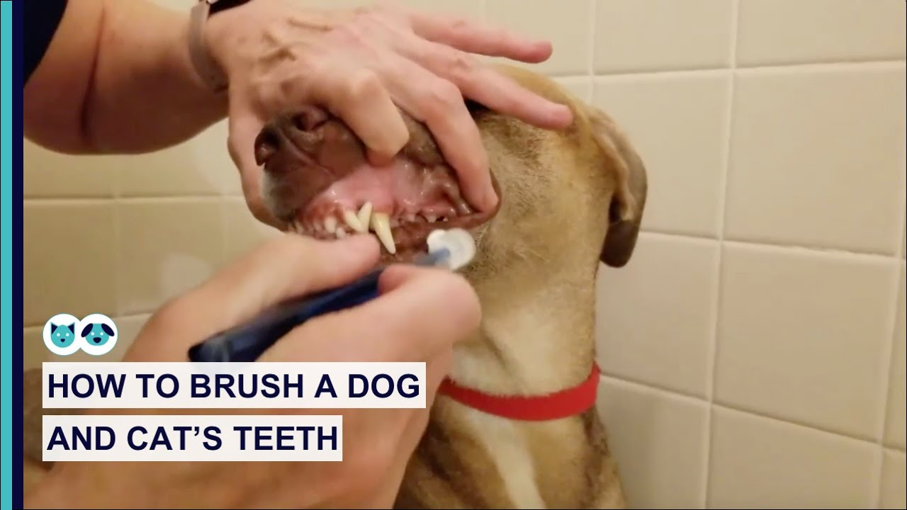 How to Brush a Dog and Cat's Teeth