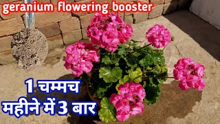 जिरेनियम में 1 चम्मच महीने में 3 बार | Geranium care n fertilizers | Geranium flowering booster