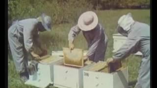 Пчеловодство на промышленную основу  Центрнаучфильм 1975 год