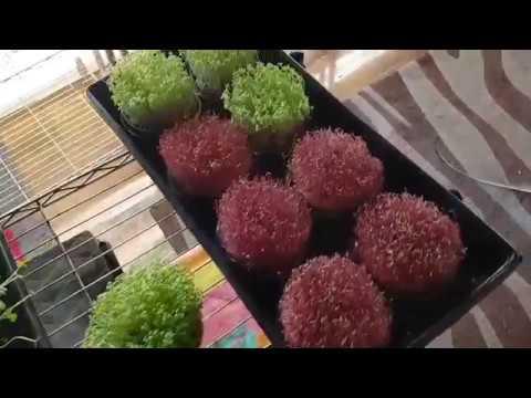 Lebadura ng kuko halamang-singaw paggamot