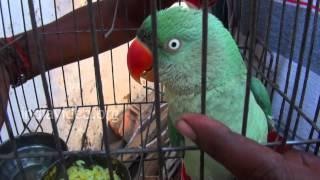 Talking Parrot, Nagpur