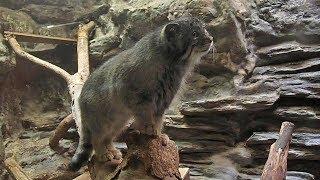 上野動物園のマヌルネコ 「ナイマ」&「ユス」Pallas's Cat
