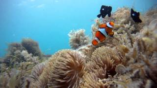 Underwater footage taken by a passenger on our Outer Barrier Reef cruise: The Clownfish is protecting his territory.