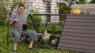 Что делать курицы заклевывают курицу