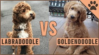 Labradoodle Vs Goldendoodle - Which Breed Is Better?