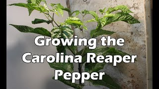Growing the Carolina Reaper Pepper Plant