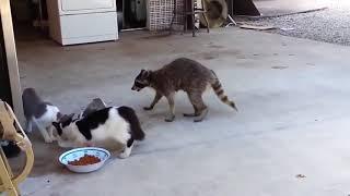 Прикольные коты и кошки  Смешное видео про животных  Животные воришки Очень смешная подборка