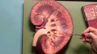 Kidney - Anatomy