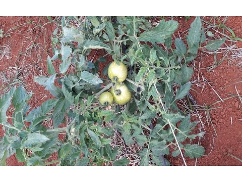 , title : 'HOW TO SPRAY TOMATOES GROWN OUTDOORS( TIPS 101)'