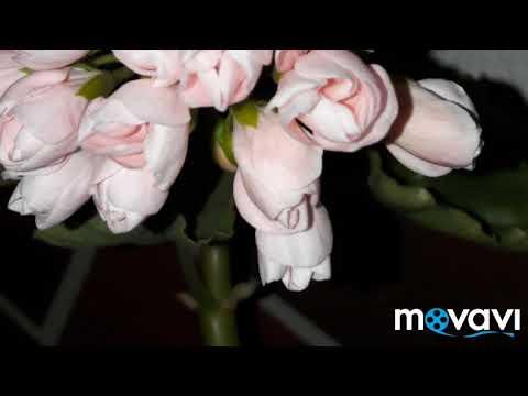 Тюльпановидная пеларгония Emma fran Bengsbo