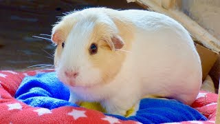 6 Golden Rules Of Guinea Pig Care