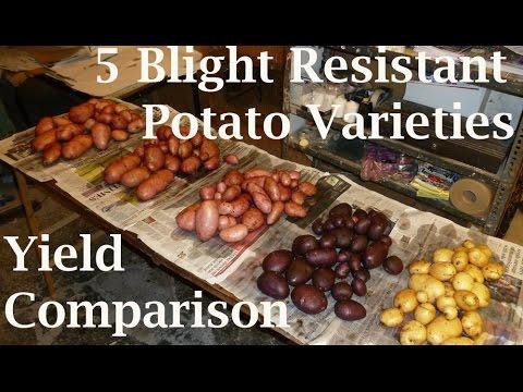 , title : 'Harvesting 5 Different Container Grown Sarpo Potato Varieties : Blight Resistant Yield Comparison