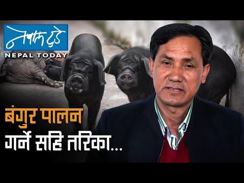 बंगुर पालन गर्ने सहि तरिका.. [ The Nepal today ] Agriculture in Nepal