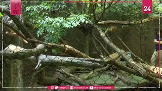 شبلان للفهد المرقط يستقبلان زوار حديقة حيوان سيمثسونيان بواشنطن