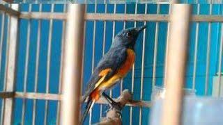 mantenan jantan gacor - मुफ्त ऑनलाइन वीडियो