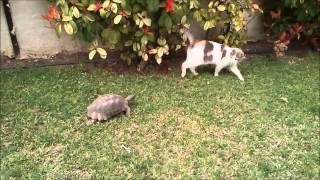 The turtle is chasing the cat