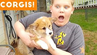Cutest Corgi Compilation 2018 | Best Funny Corgi Videos Ever