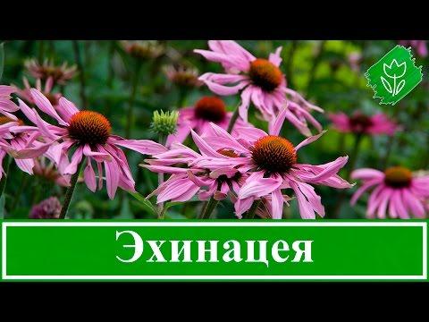 🌻 Цветок эхинацея – посадка и уход в открытом грунте, виды и сорта эхинацеи, свойства