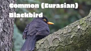 Common Eurasian Blackbird - European Bird Species