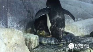 Rare Video: Macaroni Penguin Lays an Egg at the Tennessee Aquarium