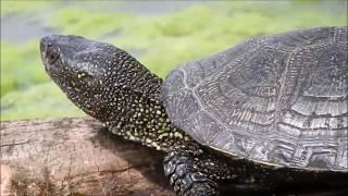 Где обитает черепаха болотная