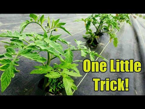 , title : 'Making Tomato Plants 10x more Productive