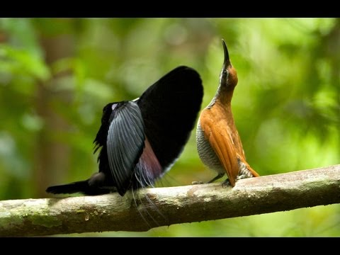 greter birds of paradise mp4