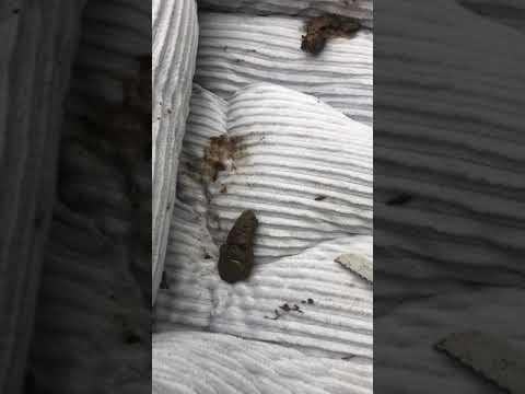 Olasz papilloma