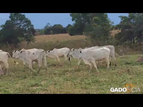 Lote0234 - 175 Bezerrotes Nelore Extra em Araguapaz - GO