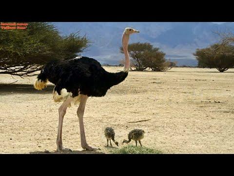 Страус. Живая природа. Факты из жизни страуса.