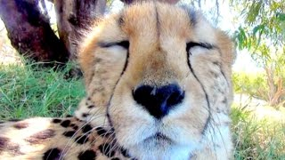 15 Minute Cheetah Cuddling & Purring Day & Night Relaxing ASMR Sound | Anatomy of Big Cats Purr