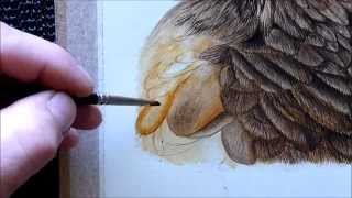 Harris Hawk Bird Watercolour Painting Tutorial - How To Paint A Feather