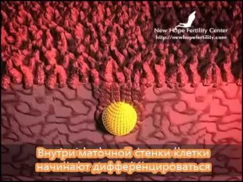 Имплантация эмбриона