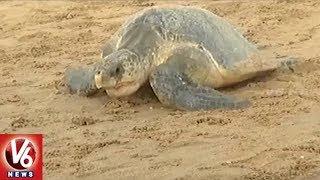 Olive Ridley Sea Turtles Arrive At Odisha's Ganjam District Coast | V6 News