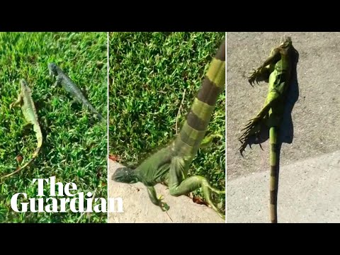 Out cold: iguanas fall from trees as temperatures drop in Florida
