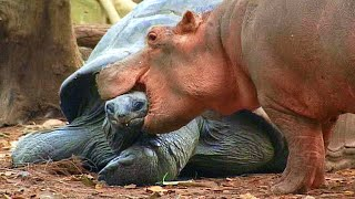 This 130 Year Old Tortoise Saves Baby Hippo's Life, Now They Are Best Friends