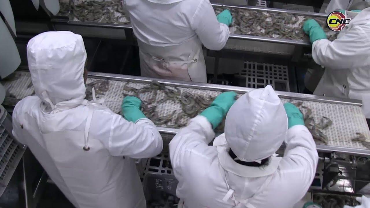 Ratifica Calisur condición de mayor productora y exportadora de camarón de cultivo en Cuba
