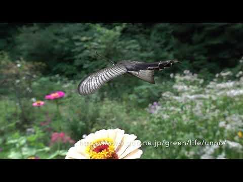 庭のクロアゲハの飛翔