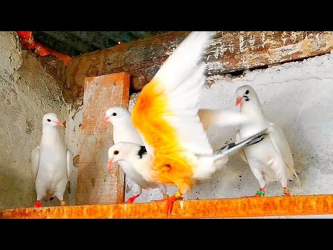 , title : 'Не знаю почему  голубям это нравится. I don't know why pigeons love it