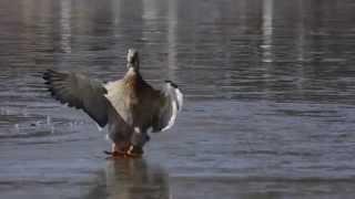Mallard duck has icy landing on frozen lake