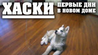 Хаски Лучшая собака в мире. Первые дни в новом доме