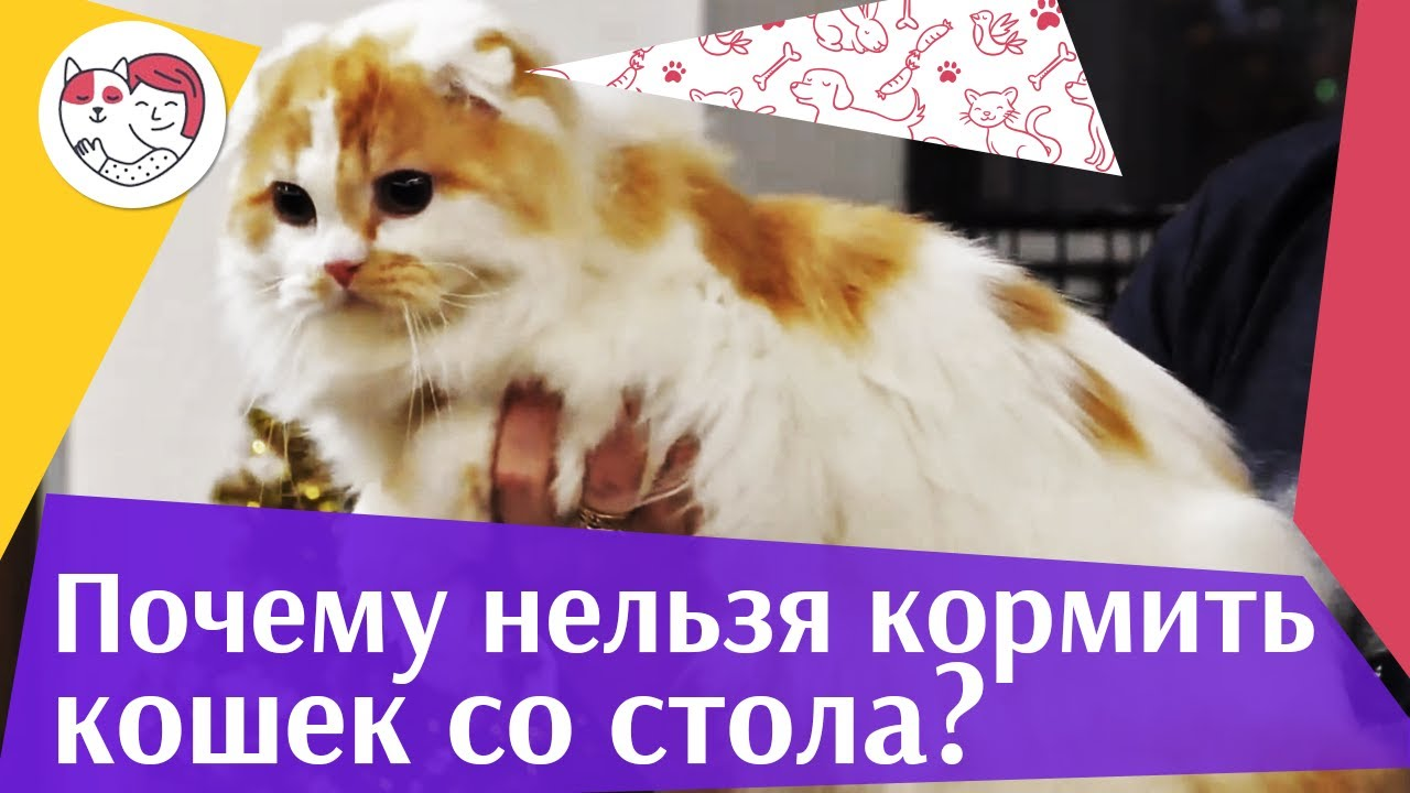 4 причины не кормить кошку со стола на ilikpet