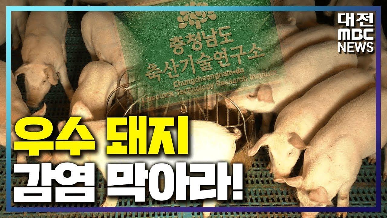 [리포트]우수 돼지 ASF 감염 막아라!