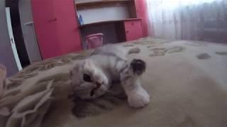Кошка Мурлычет 😻 Милая Шотландская Вислоухая Кошка Хлоя 🐱 Scottish Fold Cat